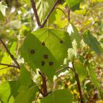 Ectoedemia occultella - Ronde berkenblaasmijnmot