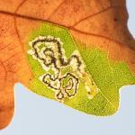 Ectoedemia quinquella - Late eikenmineermot
