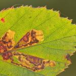 Ectoedemia rubivora - Diepenbeek ~ De Maten (Limburg) 17-10-2020 ©Steve Wullaert