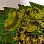 Ectoedemia rubivora Bramenblaasmijnmot