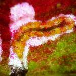 Enteucha acetosae - zuringmineermot