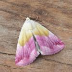 Eublemma purpurina - Visé ~ Montagne Sainte-Pierre (Luik) 25-09-2021 ©Steve Wullaert