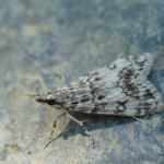 Eudonia lacustrata - Andenne ~ Réserve naturelle de Sclaigneaux (Luik) 13-06-2021 ©Dries De Vreeze