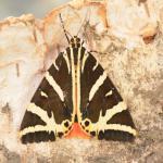 Euplagia quadripunctaria - Dinant ~ Devant-Bouvignes (Namen) 01-08-2021 ©Steve Wullaert