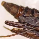 Phyllonorycter pastorella - Late wilgenvouwmot