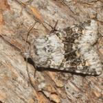Hecatera bicolorata - Zandvliet ~ Groot Buitenschoor (Antwerpen) 15-08-2021 ©Steve Wullaert