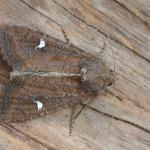 Helotropha leucostigma - Ekeren ~ De Oude Landen (Antwerpen) 14-08-2021 ©Steve Wullaert