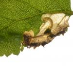 Heringocrania unimaculella - Rocherath ~ Vallée de la Holzwarche - Weisse Stein (Luik) 06-06-2021 ©Steve Wullaert