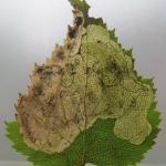 Heringocrania unimaculella - Zilvervlekpurpermot