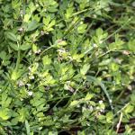 Coleophora discordella - Rolklaverkokermot