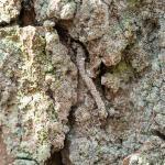 Infurcitinea argentimaculella (moswortelmot) - Beauraing ~ Grand Quarti (Namen) 01-05-2021 ©Damien Gailly