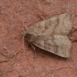 Ipimorpha retusa - Ekeren ~ De Oude Landen (Antwerpen) 14-08-2021 ©Steve Wullaert