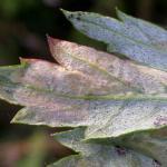 Leucospilapteryx omissella - Bijvoetblaarmot