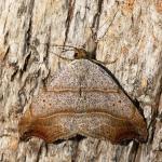 Laspeyria flexula - Andenne ~ Réserve naturelle de Sclaigneaux (Luik) 13-06-2021 ©Damien GaillyLaspeyria flexula - Andenne ~ Réserve naturelle de Sclaigneaux (Luik) 13-06-2021 ©Damien Gailly