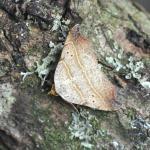 Laspeyria flexula - Kinrooi ~ Het Vijverbroek (Limburg) - 22-08-2020 ©Steve Wullaert