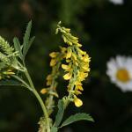 Melilotus altissimus (goudgele honingklaver) ~ KU Leuven ©Paul Busselen