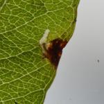 Monochroa conspersella - Witvlekboegsprietmot