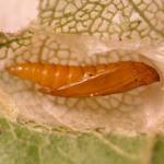 Phyllonorycter acerifoliella - Spaanse-aakvouwmot
