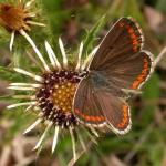 Aricia agestis - Bruin blauwtje