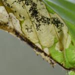 Paracrania chrysolepidella - slanke purpermot