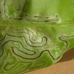 Phyllocnistis citrella - Citrusmineermot