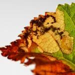 Phylloporia bistrigella - Gelijnde witvlekmot