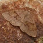 Plagodis pulveraria - Rocherath ~ Vallée de la Holzwarche - Weisse Stein (Luik) 06-06-2021 ©Steve Wullaert