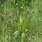 Plantago lanceolata (smalle weegbree) ~ KU Leuven ©Paul Busselen