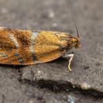 Ptycholoma lecheana - Aywaille ~ Heid des Gattes ~ Carrière de la Falize (Luik) 05-06-2021 ©Damien Gailly (1)