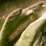 Scrobipalpa proclivella - Grijs zandvleugeltje