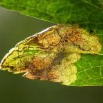 Stigmella hybnerella - Meidoornmineermot