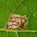 Stigmella salicis - Boswilgmineermot