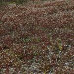 Saxifraga tridactylites (kandelaartje) - Stockay ~ Terrils et Decanteurs (Luik) 24-04-2021 ©Philippe Vanmeerbeeck
