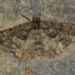 Peribatodes ilicaria - Dinant ~ Devant-Bouvignes (Namen) 01-08-2021 ©Steve Wullaert
