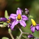 Solanum dulcamara (Bitterzoet) ~ KU Leuven ©Paul Busselen