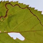 Stigmella aurella - Braammineermot