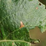 Stigmella incognitella - Appelhoekmineermot