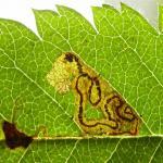 Stigmella magdalenae - Grijze lijsterbesmineermot