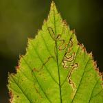 Stigmella splendidissimella - sierlijke braammineermot