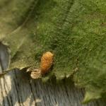 Stigmella microtheriella - Slanke mineermot