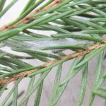 Archips oporana - Fraaie dennenbladroller