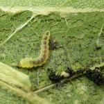 Phyllonorycter platani - Plataanvouwmot