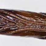 Bucculatrix bechsteinella - Meidoornooglapmot